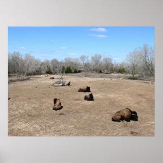 Búfalo de agua asiático poster