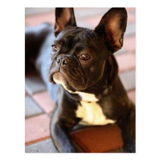 Bulldog francesas postal