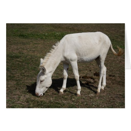 Burro blanco austr aco h ngaro tarjeton zazzle for Burro blanco