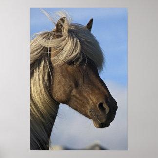 Cabeza del caballo islandés, Islandia Posters