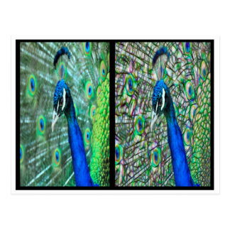 Cabeza electrificada del pavo real antes y después postal