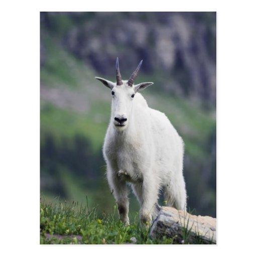 Cabra de montaña, Oreamnos americanus, adulto con Tarjetas Postales