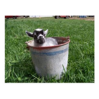 Cabra miniatura en un cubo postal