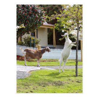 Cabra que come de árbol postal