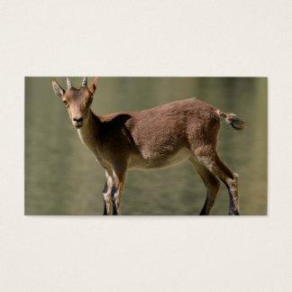 Cabra salvaje femenina joven, cabra montés tarjeta de negocios