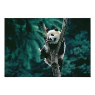 Cachorro de la panda en el árbol Wolong Sichuan Arte Fotográfico