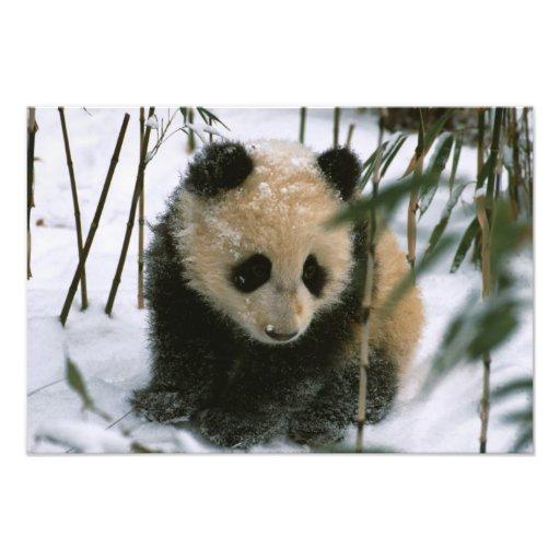 Cachorro de la panda en la nieve, Wolong, Sichuan, Arte Fotográfico
