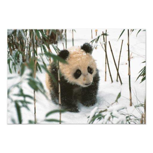Cachorro de la panda en la nieve, Wolong, Sichuan, Fotos