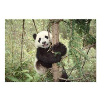 Cachorro de la panda que juega en el árbol, Wolong Fotos