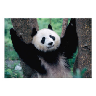 Cachorro de la panda Wolong Sichuan China Impresiones Fotograficas