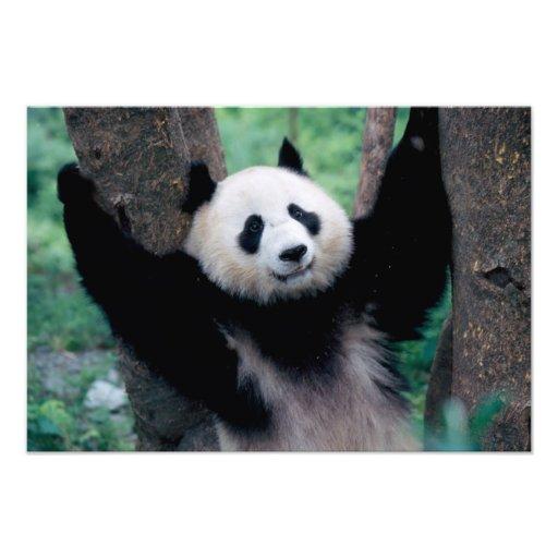Cachorro de la panda, Wolong, Sichuan, China Impresiones Fotograficas