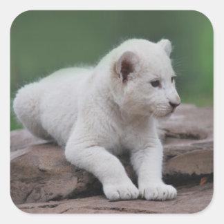 Cachorro de león blanco del bebé 2 pegatina cuadrada