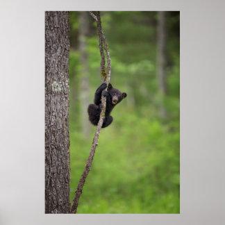 Cachorro de oso negro que juega, Tennessee Póster