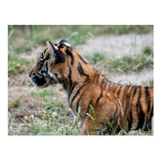 Cachorro de tigre postales
