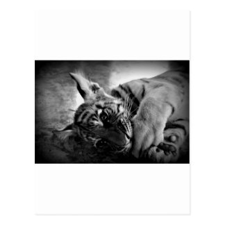Cachorro de tigre postal