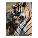 Cachorro de tigre tarjetas postales