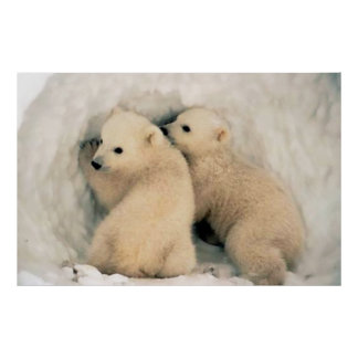 Cachorros de Osa Polar Posters