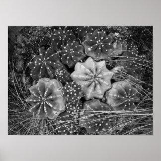 Cactus blanco y negro de la fotografía póster