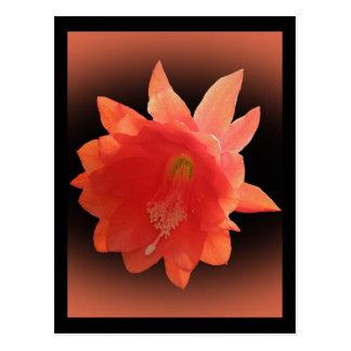 Cactus de orquídea - Epiphyllum Ackermannii - flor Postal