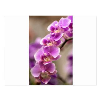 Cadena de flor de color rosa oscuro de la orquídea postal
