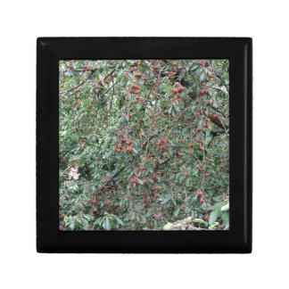 Caja De Regalo Cerezas rojas en árbol en huerta de cereza