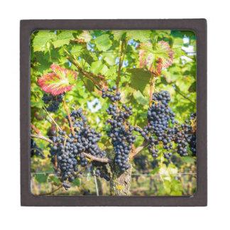 Caja De Regalo Manojos azules colgantes de la uva en viñedo