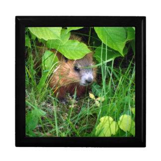 Caja De Regalo Primavera de la marmota de Groundhog Marmotte del