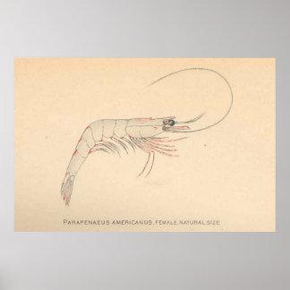 Camarón del Caribe Diagram (1902) del vintage Póster