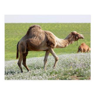 Camello en un campo floreciente verde postal
