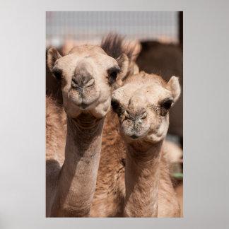 Camellos en el mercado del camello en Al Ain cerca Póster