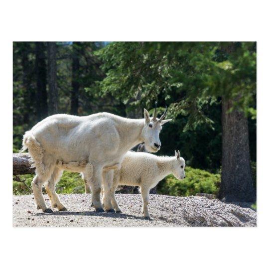 Canadá - postal de las cabras de montaña