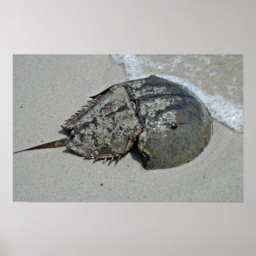 imagen cangrejo herradura: