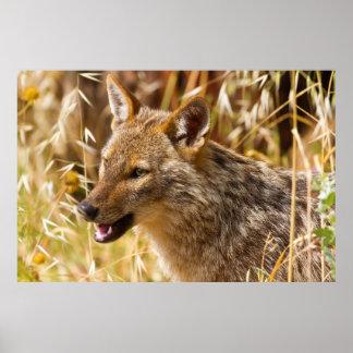 Canis de oro del chacal aurífero posters