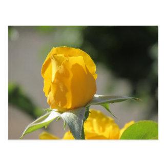 Capullo de rosa amarillo postal
