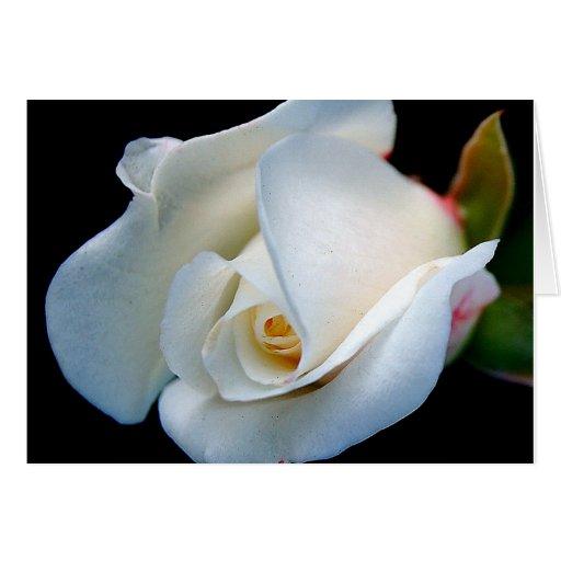 Capullo de rosa blanco felicitaciones