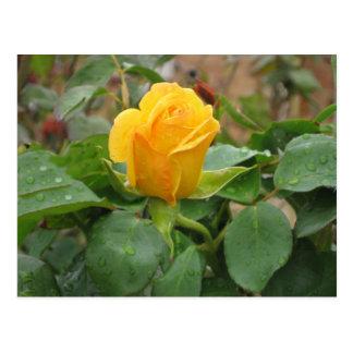 Capullo de rosa de la postal amarilla
