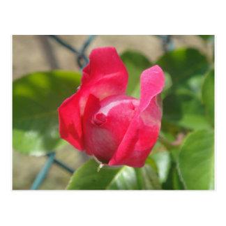 Capullo de rosa postal