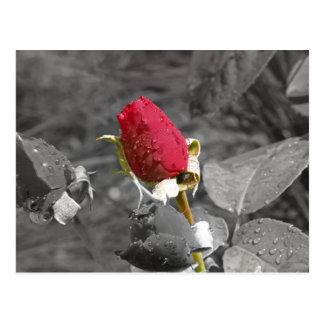 Capullo de rosa rojo en gris postal