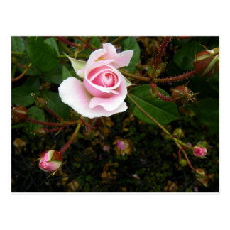 Capullo de rosa rosado postal