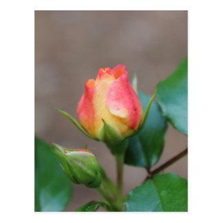 Capullo de rosa postales