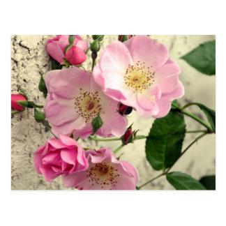 Capullos de rosa para usted postal