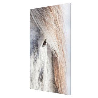 Cara islandesa blanca del caballo, Islandia Lienzo