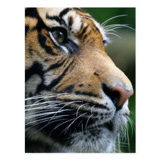 Cara magnífica del tigre de Bengala Postal
