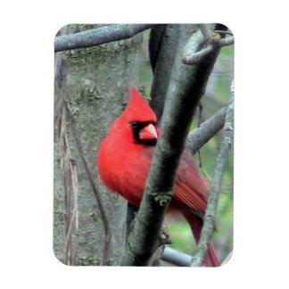 Cardenal de sexo masculino (primavera) imán flexible