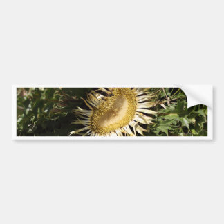 Cardo carlino (acanthifolia del Carlina) Pegatina Para Coche