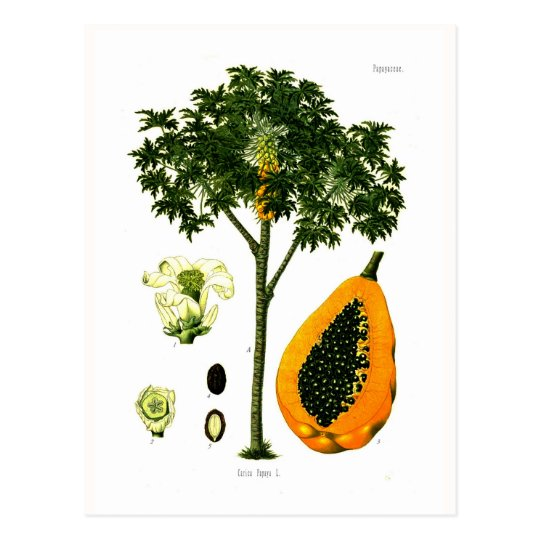 Carica papaya (papaya) postal