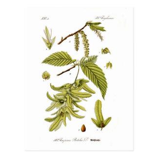 Carpinus Betulus (hornbeam europeo) Tarjeta Postal