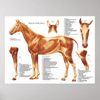 Carta de la anatomía del músculo del caballo póster