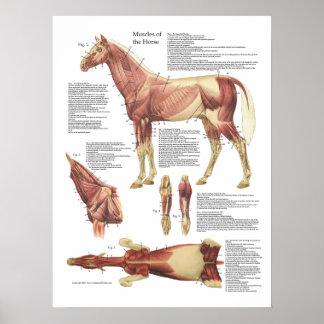Carta del veterinario de la anatomía del músculo póster