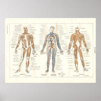 Carta francesa 1800's del vintage de la anatomía d posters